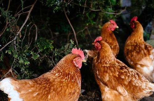 Enjoy eggs from the Bondcroft chickens